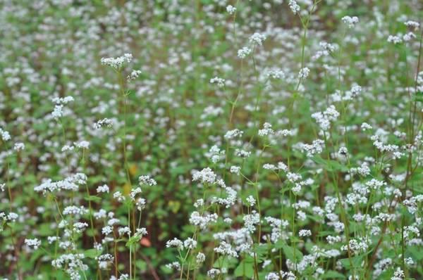 Trước Ninh Bình, nhiều địa phương khác cũng đã trồng thành công hoa tam giác mạch như Lạng Sơn, Đà Lạt, Mộc Châu... Tại đâu, loài hoa này cũng tạo được cơn sốt với du khách chưa có dịp đến mảnh đất cao nguyên đá Hà Giang. Ảnh: Hung Hoang.
