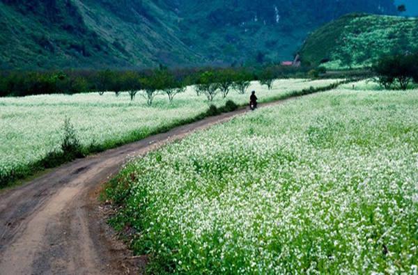 Vườn cải Ba Phách Vườn cải này cách trung tâm thị trấn khoảng 5 km, đường đi hơi khó, nhưng bù lại cải trắng ở đây rất nhiều. Khung cảnh đẹp nhất là từ tháng 11 đến dịp cận Tết bởi đây là thời điểm hoa cải nở rộ nhất và đẹp nhất ở Mộc Châu. Ảnh: Nguyễn Phạm Thành Đạt.