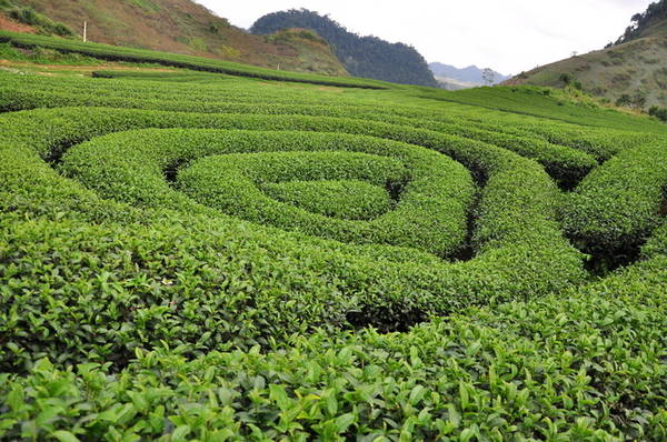 Đồi chè trái tim Mộc Châu có nhiều đồi chè hình trái tim cho bạn khám phá. Đồi chè Đài Loan (gần nhất cách thị trấn Mộc Châu khoảng 10 km), đồi chè Tân Lập 3 và đồi chè Mộc Sương là những điểm thu hút khách du lịch nhất. Nhìn từ trên cao, những khóm chè được trồng chụm lại thành hình trái tim lãng mạn. Diện tích đồi chè khá rộng khiến bất cứ bức ảnh nào chụp ở đây trông cũng ngập tràn màu xanh. Ảnh: Lam Linh.