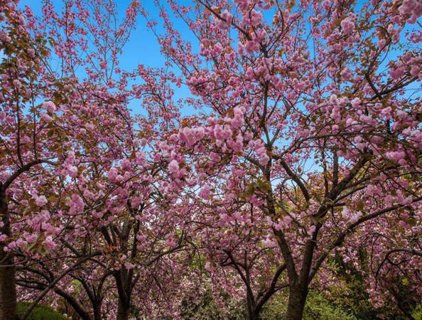 """Vô Tích, Giang Tô là nơi được thiên nhiên ưu đãi nên được chọn là nơi lý tưởng để du lịch. Vào mùa xuân, hoa anh đào nở rộ khiến du khách ngỡ như đang lạc vào chốn """"bồng lai tiên cảnh""""."""