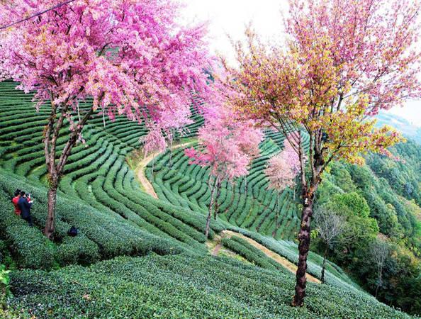 Mùa xuân ở Vân Nam, hàng ngàn cây hoa anh đào khoe sắc rực rỡ. Màu hồng của hoa đào đan xen với màu xanh của đồi chè làm khung cảnh thêm quyến rũ.
