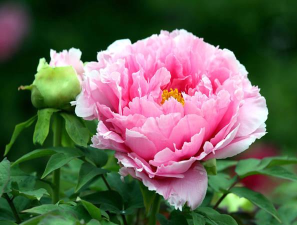 Hoa mẫu đơn được xem là quốc hoa của Trung Quốc. Vào mùa xuân, muốn cảm nhận được rực rỡ và vẻ sang trọng của hoa này, bạn nên ghé thăm vườn hoa mẫu đơn tại Lạc Dương, Hà Nam.