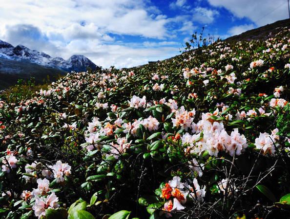 Nếu quyết định du lịch đến khu vực Tây Nam Trung Quốc, bạn nên ghé thăm Garze, tỉnh Tứ Xuyên để được ngắm vẻ đẹp tinh khiết và rực rỡ của hoa đỗ quyên trên nền trời xanh trong.