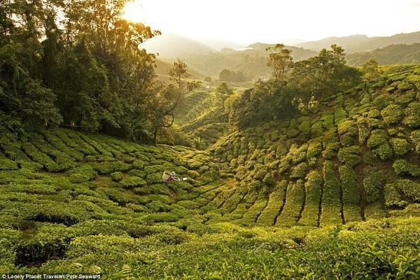 Uống trà ngay tại nguồn ở Malaysia: Vùng cao nguyên Cameron ở Malaysia nổi tiếng với ba điều: khí hậu lạnh, vẻ đẹp của mục đồng và trà. Với hơn 1.200 mẫu đất đồi phủ đầy chè, đồn điền Boh là nơi sản xuất trà đen nhiều nhất Malaysia. Những ngọn đồi trải dài khuất tầm mắt, nổi bật với những dòng suối hiền hòa, bánh xe nước và các ngôi nhà tạm bợ. Trong không gian hiện đại hơn, du khách tới thưởng thức trà chất lượng cao và ngắm cảnh đồi.