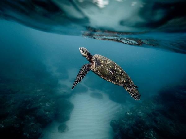 Cảnh sắc huyền ảo dưới đáy đại dương: Đến thăm quần đảo Hawaii, bạn có thể tham gia những chuyến lặn biển, thưởng ngoạn vẻ đẹp dưới biển, gặp gỡ những sinh vật như rùa biển, cá mập. Ở Hawaii, rùa biển xanh được coi là biểu tượng cho may mắn và trường thọ. Ảnh: Jeremy Bishop.
