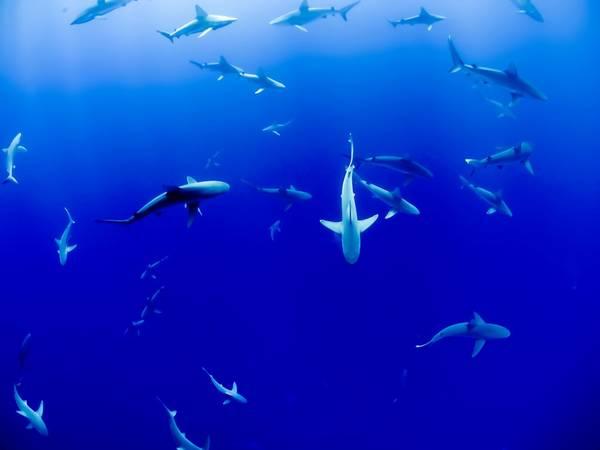 """Bức ảnh trên được tác giả chụp trong một chuyến bơi với ống thở (khác lặn biển) xa bờ vài dặm ở đảo O'ahu. Trong tour du lịch """"bơi cùng cá mập"""", du khách đi trên tàu ra giữa biển, nơi đàn cá mập tụ tập, và nhảy thẳng xuống biển. Đó có thể là một trong những trải nghiệm kỳ thú nhất đời khi bạn bơi gần hơn 40 chúa tể của biển xanh. Ảnh: Jakob Owens."""