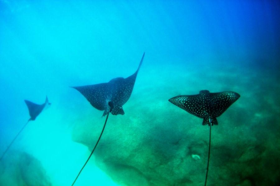 Kenji Croman, tác giả của bức ảnh cầm theo camera và bơi theo khi tình cờ phát hiện một đàn cá đuối. Lũ cá vội tản ra xa. Nhưng lúc Kenji bơi lại gần, một con cá đuối mẹ bỗng giảm tốc độ, đuôi dựng lên như ra dấu hiệu cảnh cáo. Ảnh: Kenji Croman.