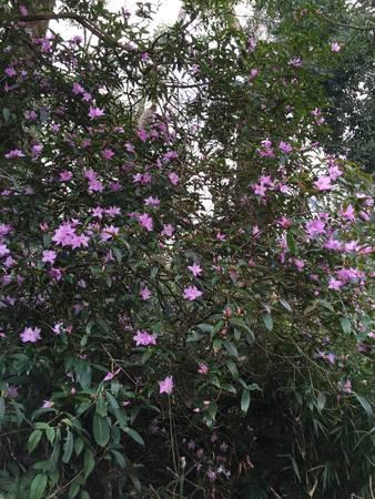 Đi xuyên qua khu rừng già, 2 bên là những cây hoa đỗ quyên tuyệt đẹp khoe sắc như chào đón đoàn chúng tôi.
