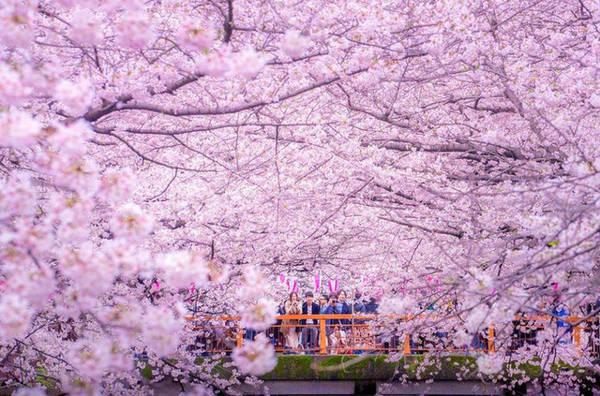 Đây cũng chính là thời điểm mà cả người dân bản địa lẫn khách du lịch cùng nô nức tề tựu đến những công viên, địa điểm trồng hoa của quốc gia này để một lần được chiêm ngưỡng vẻ đẹp của loài hoa đã đi vào thơ ca này.