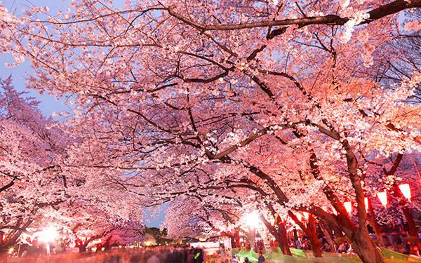 Thời gian hoa anh đào nở chênh nhau ở các vùng nên nếu là người yêu hoa bạn có thể di chuyển suốt dọc theo nước Nhật để ngắm hoa. Vào dịp nào, cảnh tượng quen thuộc thường thấy ở các công viên là những gia đình, nhóm bạn cùng nhau chuẩn bị đồ, đem theo tấm trải rồi cùng nhau đi thật sớm để xí chỗ đẹp. Họ ngồi dưới những gốc cây vừa thưởng hoa vừa trò truyện và ăn các món ăn ngon.