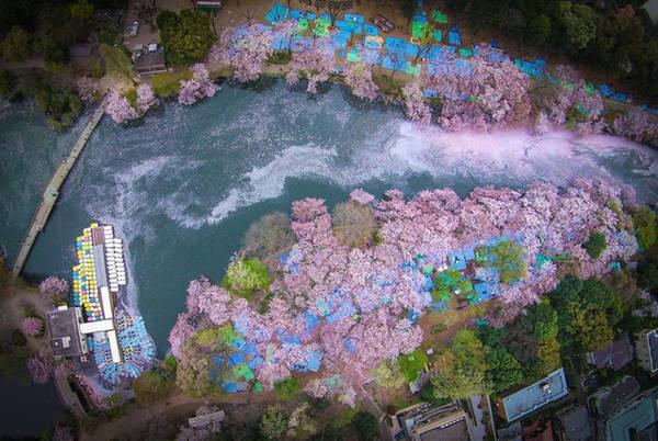 Một bức ảnh tuyệt đep chụp hoa anh đào từ trên cao.