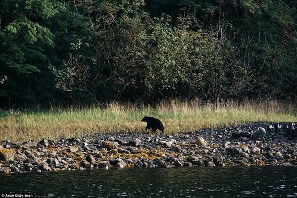 Trên đảo rất dễ bắt gặp gấu đen Bắc Mỹ đi lang thang.