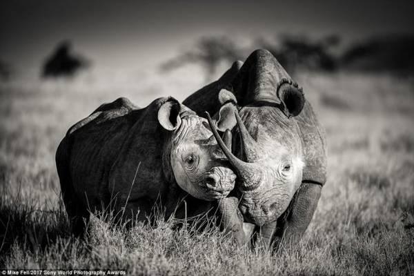 Hai chú tê giác tại khu bảo tồn động vật hoang dã ở Kenya