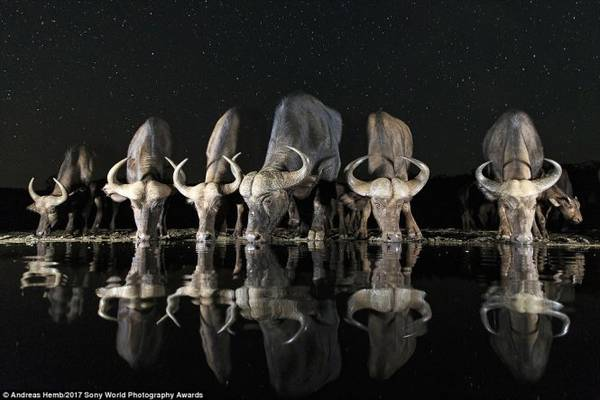 Đàn trâu uống nước tại Nam Phi