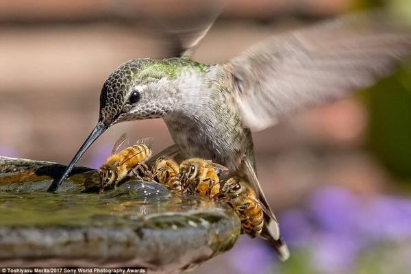 Chú chim ruồi đang uống nước vào một ngày oi bức ở California trong năm 2016