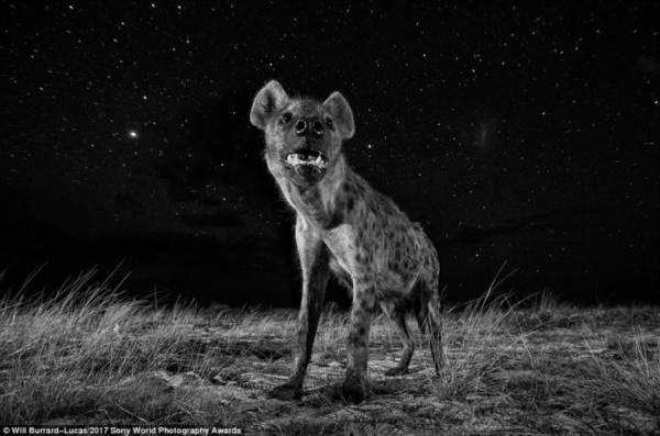 Một chú linh cẩu ở phía tây Zambia được chụp bằng máy ảnh điều khiển từ xa