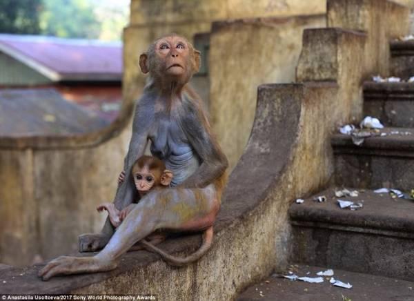 Một chú khỉ hoang ngồi ôm con trên bức tường của tu viện ở Núi Popa, Myanmar