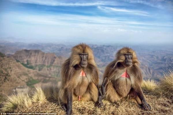 Khỉ đầu chó ở vùng cao nguyên Ethiopia