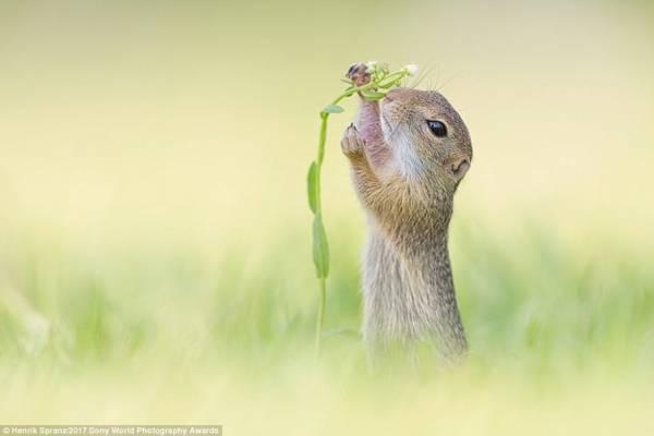 Một chú sóc con ngắt nụ hoa trên đường đi tìm bữa ăn sáng tại cánh đồng ở Áo
