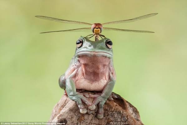 Tác phẩm của nữ nhiếp ảnh gia Lessy Sebastian ghi lại khoảnh khắc một con chuồn chuồn đậu trên đầu chú ếch được ban giám khảo đánh giá cao