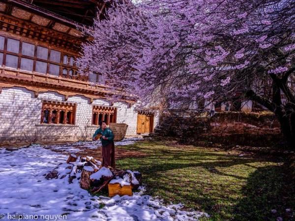 Phụ nữ Bhutan bên cây hoa đào nở
