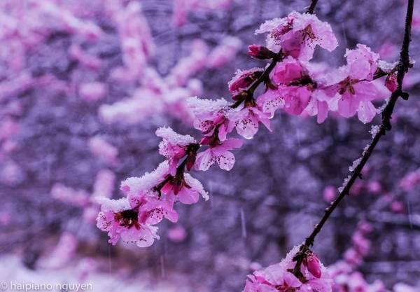 Tuyết phủ lên cánh hoa đào