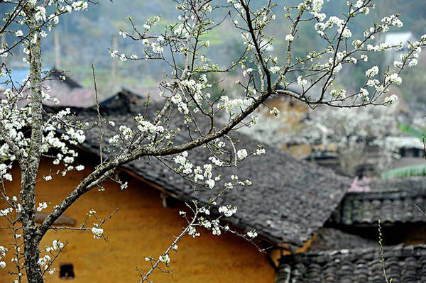 Cành hoa mận nở trắng bên hiên nhà báo hiệu mùa sinh sôi nảy nở trên vùng cao nguyên khô cằn.
