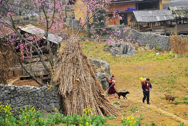 Khóm hoa cải vàng vươn mình tựa lưng vào bức tường đá uốn lượn như tác phẩm nghệ thuật, được tạo ra bằng đôi bàn tay của đồng bào người Mông.