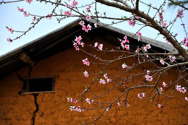 Với đồng bào người Mông ở đây, nhà nào cũng trồng ít nhất một cây đào trước ngõ, trong sân, bên tường rào. Vì thế mỗi độ xuân về hoa nở rực rỡ, màu hồng thắm càng trở nên nổi bật trên nền tường vàng, mái ngói đen thẫm phía sau.