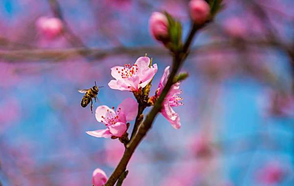 Hoa đào ở vùng Cao nguyên đá đặc biệt bởi màu hồng đậm và cánh hoa dày.