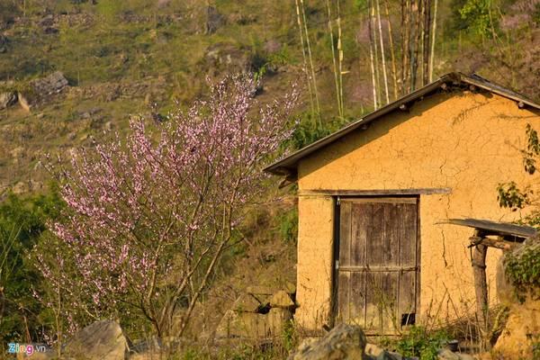 Vài năm gần đây, hàng nghìn cây đào rừng được trồng quanh các ngôi nhà ở Y Tý, A Lù, A Mú Sung (Bát Xát, Lào Cai) theo chương trình phục tráng giống đào vùng cao.