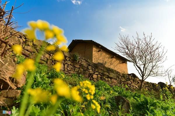 Không chỉ ngắm sắc hồng của hoa đào, du khách đến Y Tý mùa này còn có thể chìm đắm trong sắc vàng của những luống cải mèo đang độ lên hoa.