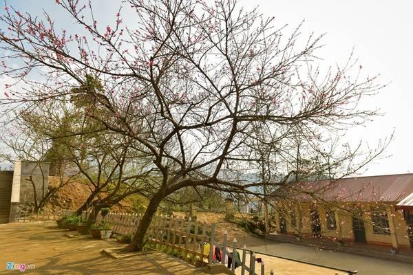 Đào rừng được trồng rất nhiều trong khuôn viên trường THCS Y Tý.