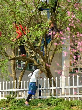 Chiều chủ nhật, học sinh nội trú trèo lên cây đào hái quả. Bên cạnh đó, những cây đào nở sau vẫn đang rợp bóng hoa.