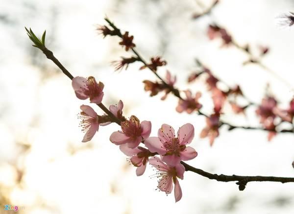 Do không được tuốt lá như đào Nhật Tân, đào Y Tý nở rộ vào khoảng cuối tháng giêng, đầu tháng hai Âm lịch.
