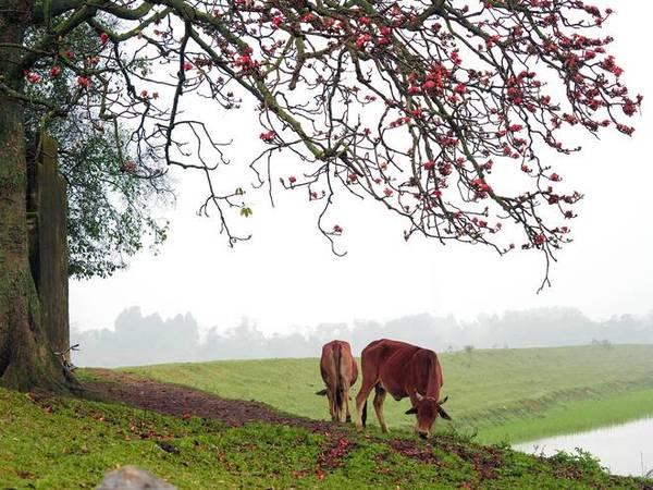 Gốc gạo đầu đình hay đầu làng, trong tâm trí của nhiều người xa quê, còn chứa đựng cả một miền ký ức tuổi thơ thanh bình.