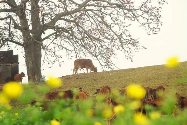 """Một trong những cây gạo """"có số má"""" rất được giới mê ảnh yêu thích là ở xã Lãng Sơn, huyện Yên Dũng (Bắc Giang). Cây cổ thụ hàng trăm năm tuổi, đứng sừng sững, uy nghiêm ở đầu làng, bên cạnh đàn bò nhẩn nha gặm cỏ - một hình ảnh tưởng như chẳng còn ở thời hiện đại."""