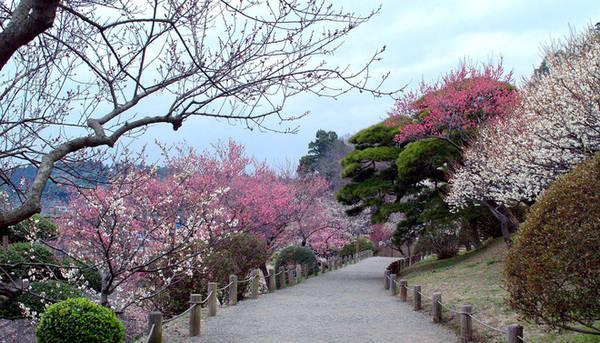 Khu vườn này nổi tiếng với hơn 3.000 cây mận. Vào mùa nở hoa, quang cảnh nơi đây được ví như chốn bồng lai tiên cảnh giữa đời thực.