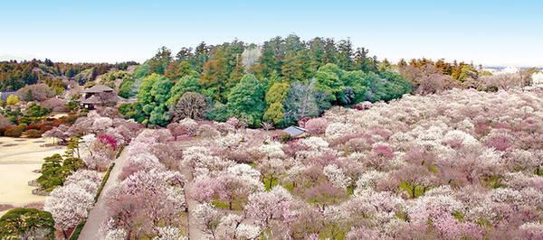 Du khách thường ghé thăm vườn nhiều nhất vào mùa xuân, thời điểm tháng 2, 3 vì đây là mùa hoa mận nở. Ngoài ra, bạn có thể đi dạo và ngắm cảnh quanh hồ Senba. Ảnh: AttJapan.