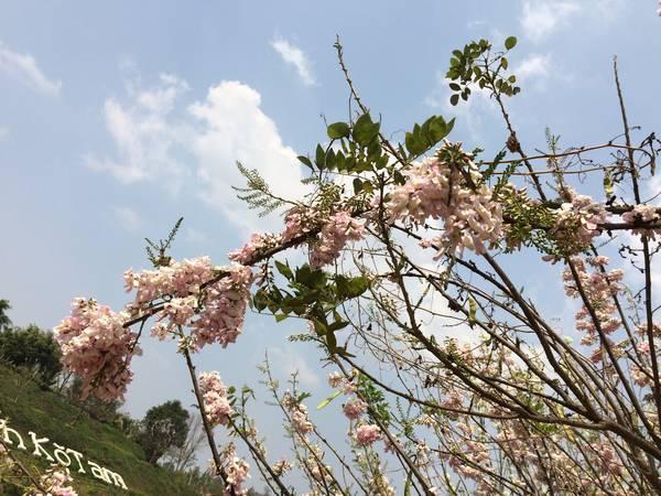 Các loài hoa đua nhau khoe sắc dọc theo bờ hồ Ko Tam