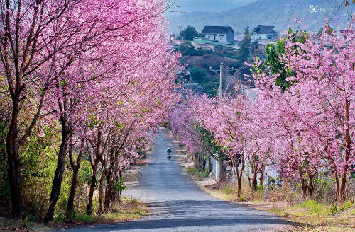 Lễ hội hoa mai anh đào năm nay đã phải hủy do thời tiết, hoa nở không đều như các năm. Ảnh: Bụi Cát.