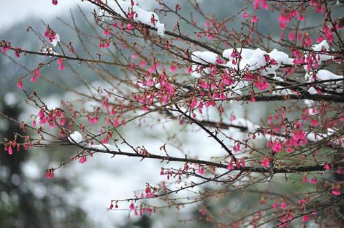 Hoa anh đào Sa Pa khoe sắc cả trong thời tiết lạnh giá. Ảnh: Josephine Hương Giang.
