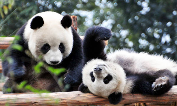 Loài gấu trúc không chỉ được coi là là báu vật quốc gia của Trung Quốc mà còn là loài động vật cần được bảo tồn trên thế giới do lượng cá thể không nhiều. Chúng chỉ được tìm thấy ở các tỉnh Tứ Xuyên, Thiểm Tây và Cam Túc. Tổng số gấu trúc ở Trung Quốc chỉ có chưa đến 1.000 con, trong đó 80% tập trung tại Thành Đô. Do vậy, không ít người đến với thành phố nổi tiếng trong Tam quốc diễn nghĩa này là để tận mắt chiêm ngưỡng vẻ đáng yêu của loài gấu trúc.