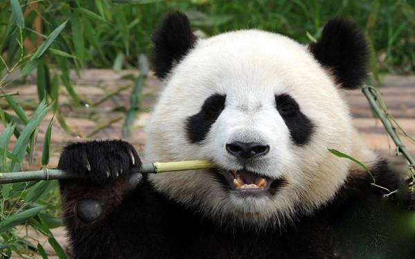 Gấu trúc là loài vật hiền lành, rất tình cảm, thông minh, thân hình to béo, với màu lông đen trắng đặc trưng. Thức ăn chủ yếu của chúng là các loại tre trúc, thực vật.