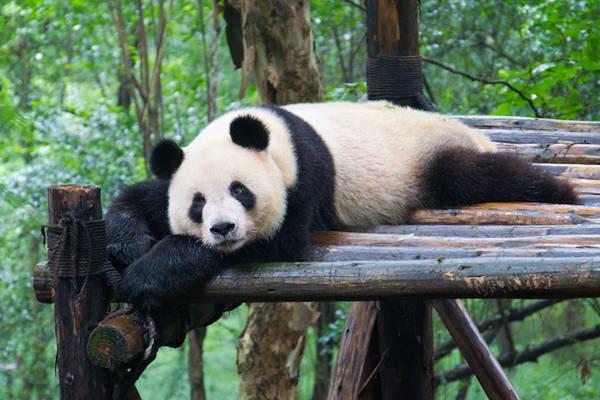 Trung tâm bảo tồn gấu trúc cấp quốc gia Chengdu Research Base of Giant Panda Breeding là nơi gây giống và chăm sóc khoảng hơn 100 cá thể gấu trúc. Đây cũng là nơi mà du khách có thể tiếp xúc gần gũi nhất với những chú gấu được huấn luyện và đảm bảo về sức khỏe.