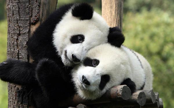 Người Trung Quốc rất yêu quý loài động vật này, những video quay tại trung tâm hay do du khách quay đều nhận được sự yêu thích và chia sẻ lớn trên cộng đồng mạng. Thậm chí ngay cả những nhân viên chăm sóc gấu trúc cũng trở thành thần tượng của nhiều người khi hàng ngày được sống cùng loài vật dễ thương này.