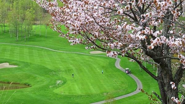 Thị trấn Niseko, Hokkaido: Một trong hai sân golf ở Niseko do golf thủ huyền thoại Arnold Palmer thiết kế, có hàng cây anh đào dọc theo con đường gần cổng. Góc nhìn tuyệt đẹp về phía ngọn núi thiêng Yotei khiến trải nghiệm thêm độc đáo. Thời điểm lý tưởng để ngắm hoa nở tại Niseko là giữa tháng 5.