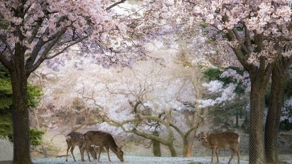 """Theo quan niệm trong thần đạo Shinto, loài hươu được coi là sứ giả của các vị thần, đồng thời cũng là biểu tượng của Nara. Vì vậy du khách có thể bắt gặp những chú hươu đi lang thang khắp thành phố, đặc biệt trong """"công viên hươu"""" ở ngay trung tâm."""