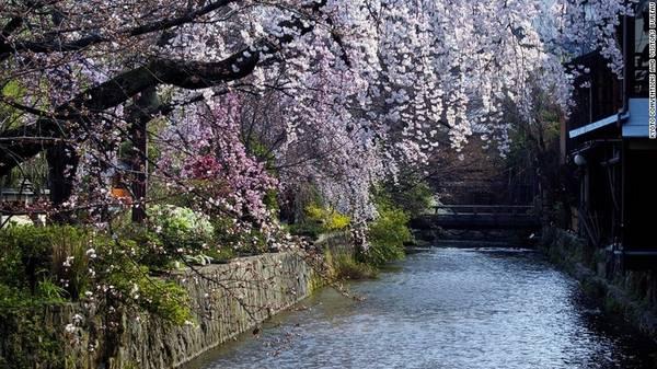 Quận Gion, Kyoto: Du khách có thể tìm được những điểm ngắm hoa anh đào tuyệt đẹp tại quận Gion. Những chùm hoa nhẹ nhàng rủ xuống dòng sông Shirakawa rồi trôi theo dòng nước hiền hòa. Ngoài ra, cố đô Kyoto còn sở hữu 17 Di sản Thế giới do UNESCO công nhận và hơn 1.600 ngôi đền, khiến nơi đây trở thành điểm ngắm hoa anh đào phổ biến nhất với du khách.