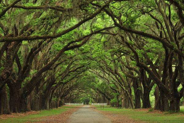 """Thành phố xinh đẹp Savannah của tiểu bang Georgia (Mỹ) được gọi với biệt danh là """"Thành phố Rừng"""", bởi có nhiều cây sồi cổ thụ, cành lá đan xen tạo thành vòm cung trên các con đường ở đây. Ảnh: WordPress."""